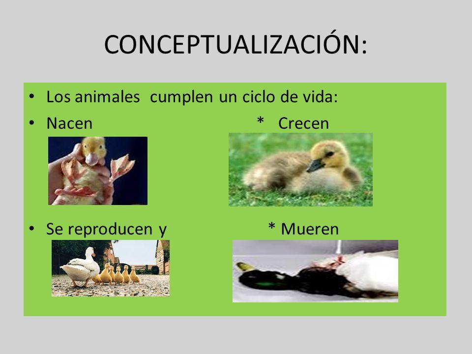 CONCEPTUALIZACIÓN: Los animales cumplen un ciclo de vida: