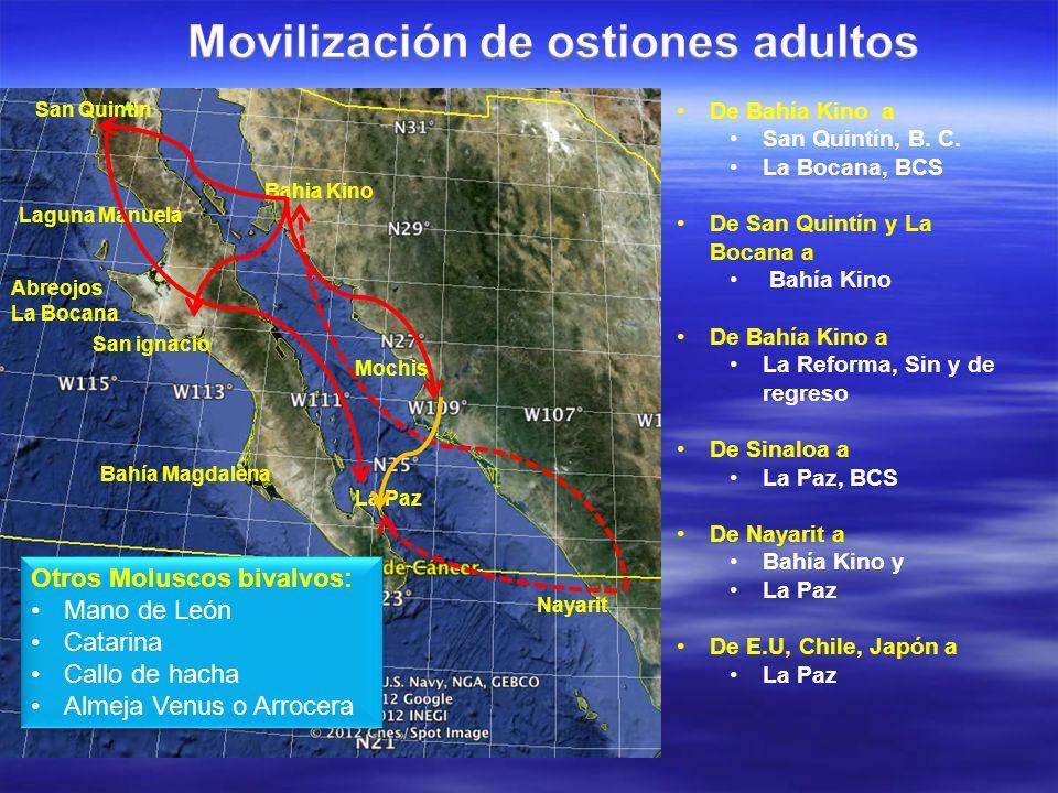 Movilización de ostiones adultos