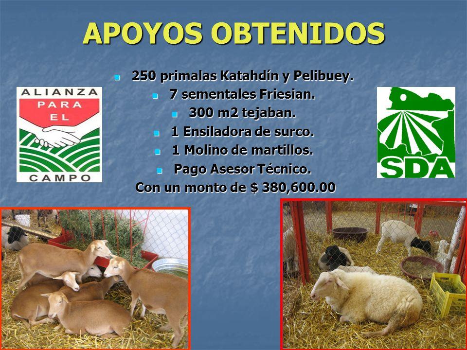 250 primalas Katahdín y Pelibuey.