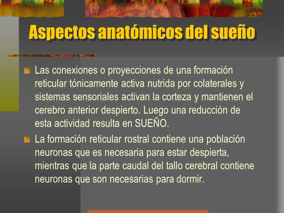 Aspectos anatómicos del sueño