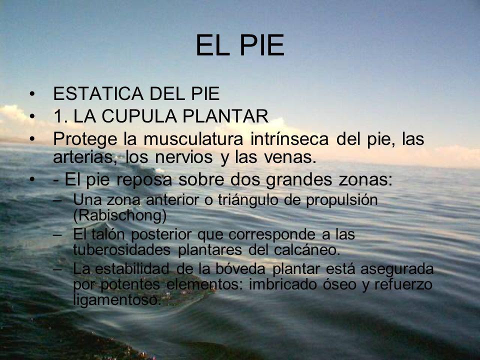 EL PIE ESTATICA DEL PIE 1. LA CUPULA PLANTAR