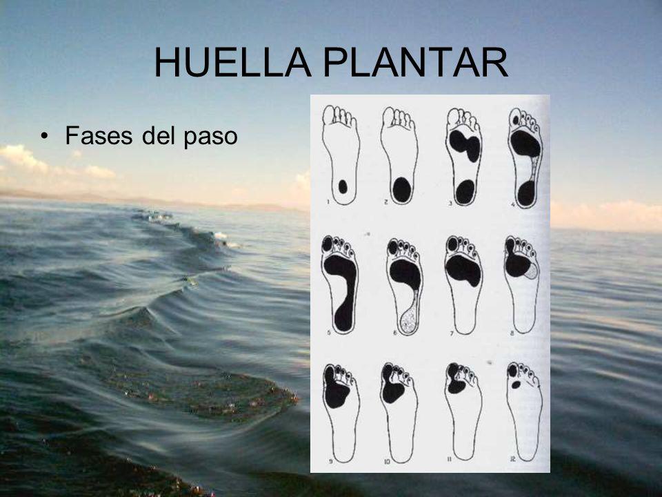 HUELLA PLANTAR Fases del paso