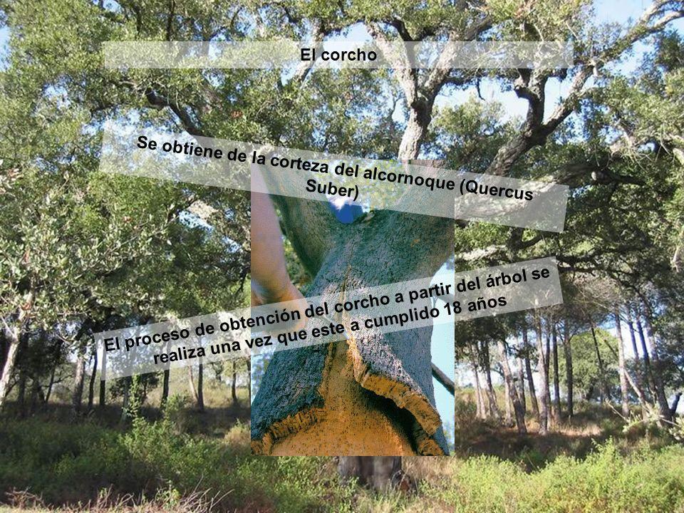 Se obtiene de la corteza del alcornoque (Quercus Suber)