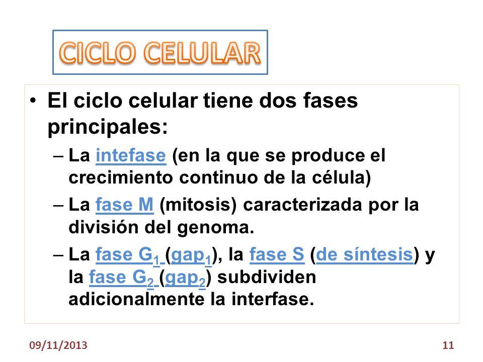 CICLO CELULAR El ciclo celular tiene dos fases principales: