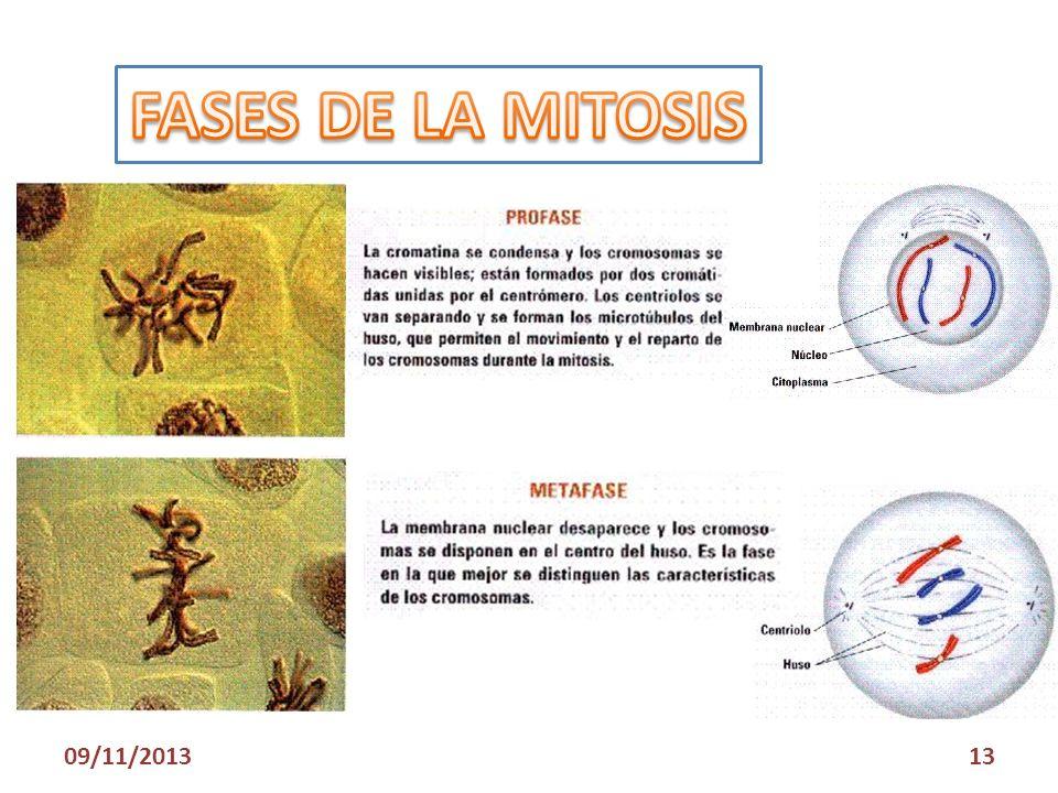 FASES DE LA MITOSIS 23/03/2017