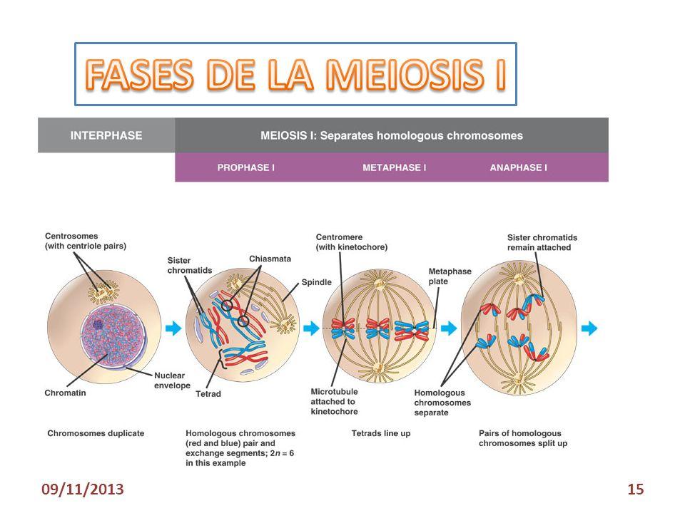 FASES DE LA MEIOSIS I 23/03/2017
