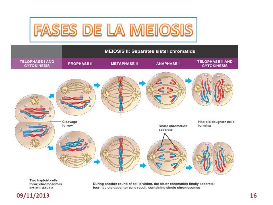 FASES DE LA MEIOSIS 23/03/2017