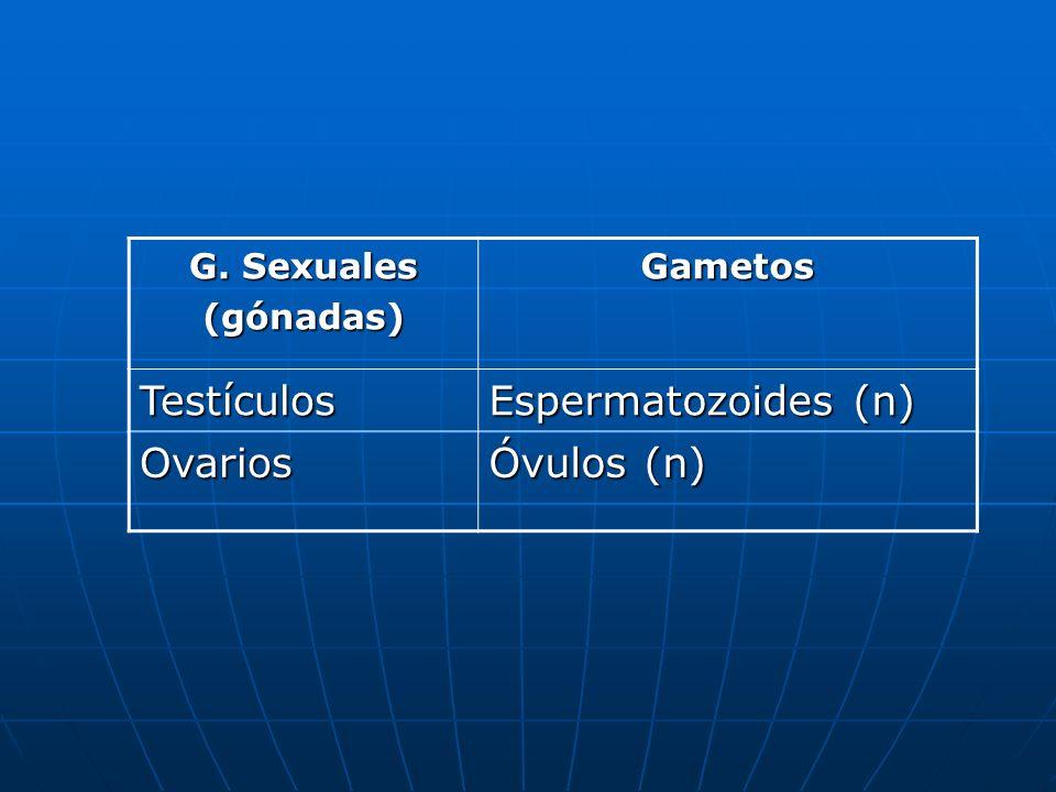 Testículos Espermatozoides (n) Ovarios Óvulos (n) G. Sexuales