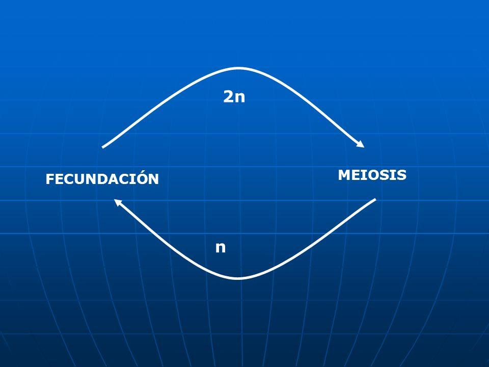 2n MEIOSIS FECUNDACIÓN n