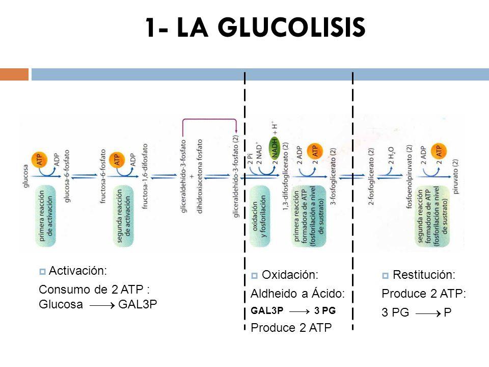 1- LA GLUCOLISIS Activación: Consumo de 2 ATP : Glucosa  GAL3P