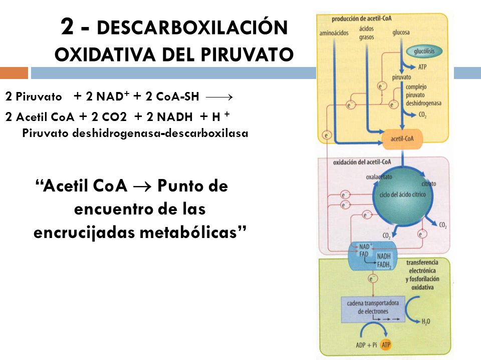 2 - DESCARBOXILACIÓN OXIDATIVA DEL PIRUVATO