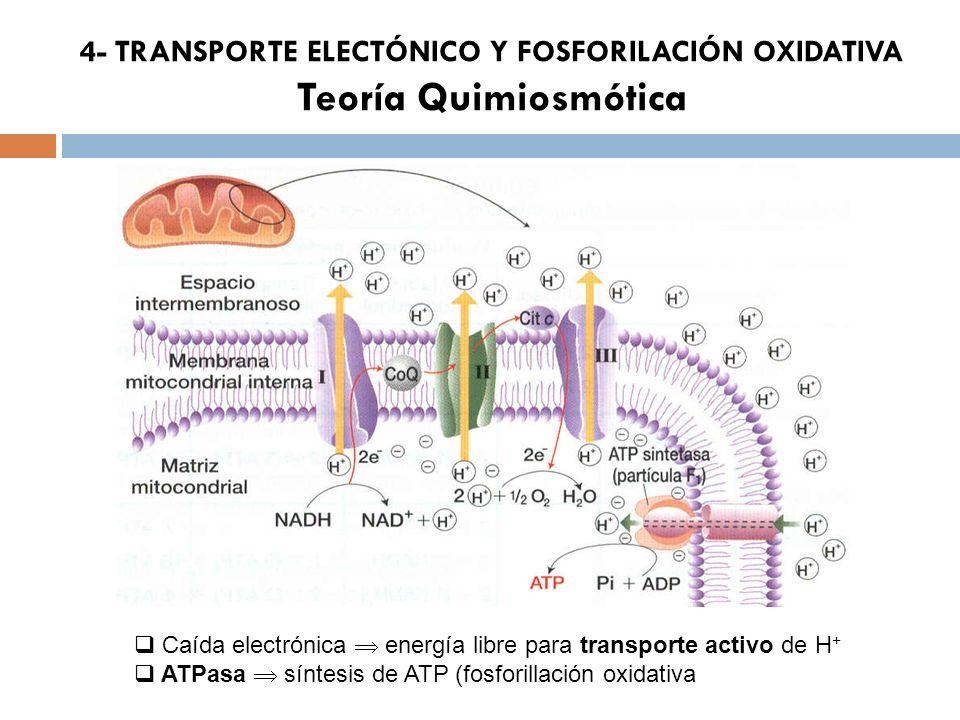 4- TRANSPORTE ELECTÓNICO Y FOSFORILACIÓN OXIDATIVA Teoría Quimiosmótica