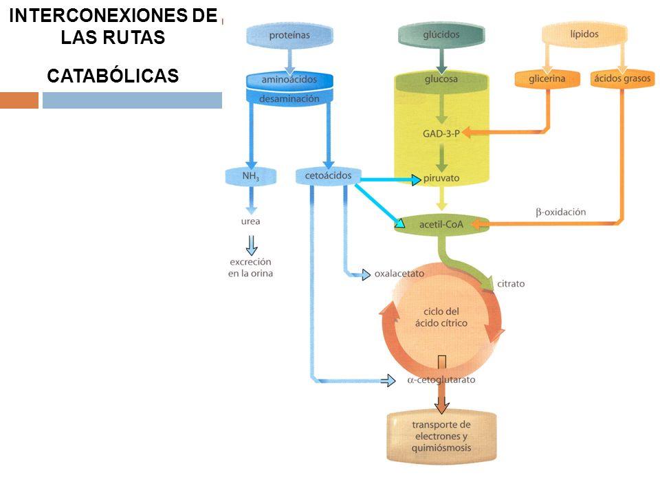 INTERCONEXIONES DE LAS RUTAS CATABÓLICAS