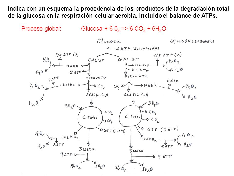 Proceso global: Glucosa + 6 02 => 6 CO2 + 6H2O
