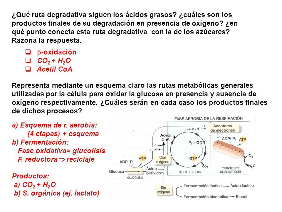 ¿Qué ruta degradativa siguen los ácidos grasos