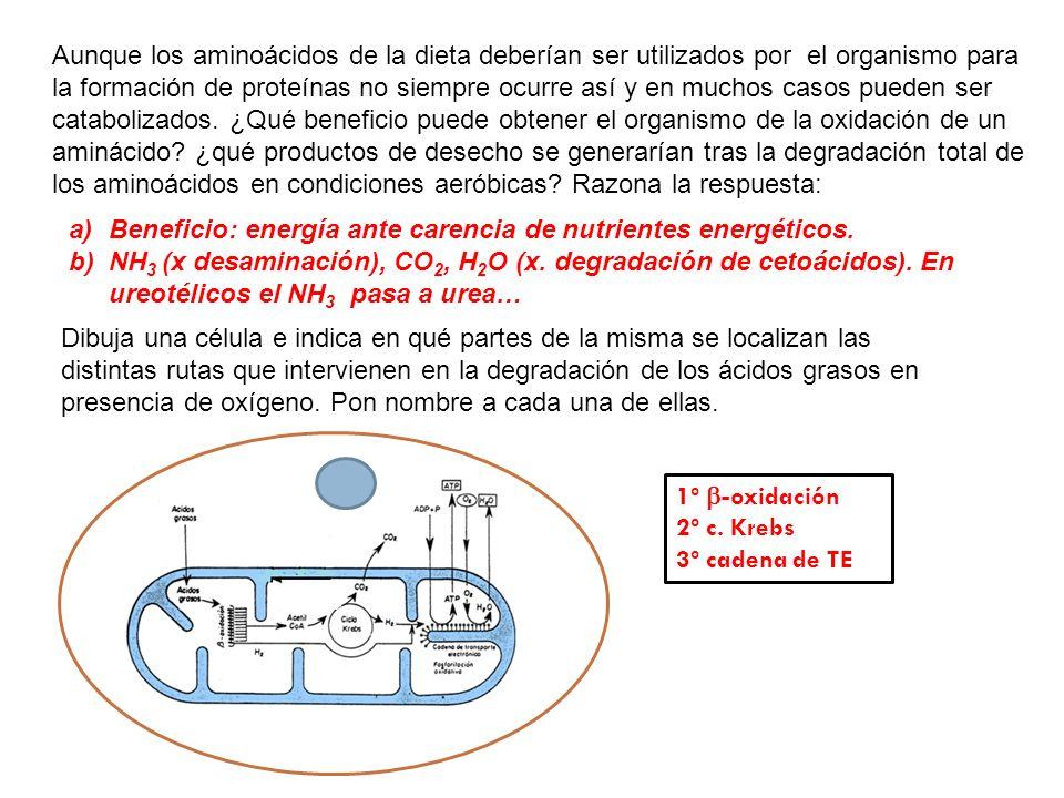 Aunque los aminoácidos de la dieta deberían ser utilizados por el organismo para la formación de proteínas no siempre ocurre así y en muchos casos pueden ser catabolizados. ¿Qué beneficio puede obtener el organismo de la oxidación de un aminácido ¿qué productos de desecho se generarían tras la degradación total de los aminoácidos en condiciones aeróbicas Razona la respuesta: