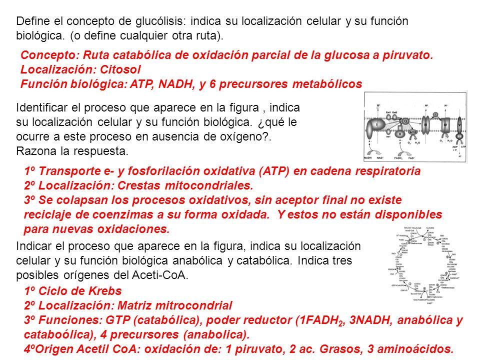 Define el concepto de glucólisis: indica su localización celular y su función biológica. (o define cualquier otra ruta).
