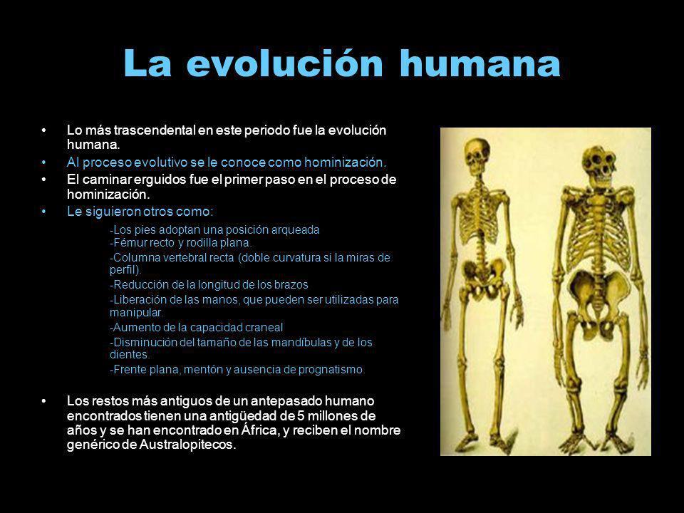 La evolución humanaLo más trascendental en este periodo fue la evolución humana. Al proceso evolutivo se le conoce como hominización.