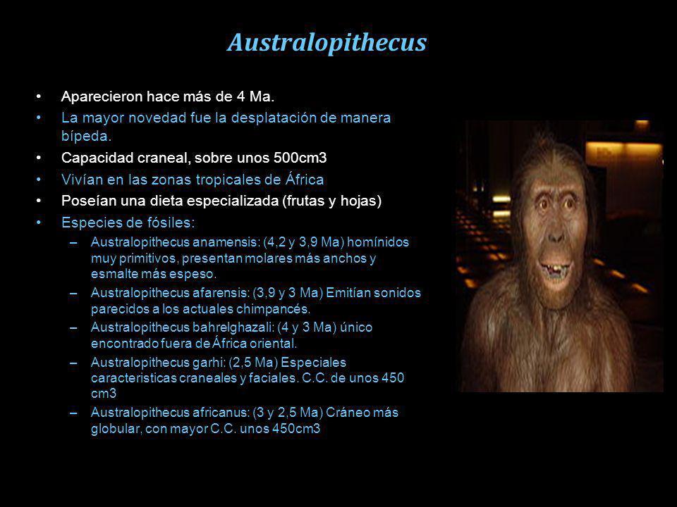 Australopithecus Aparecieron hace más de 4 Ma.