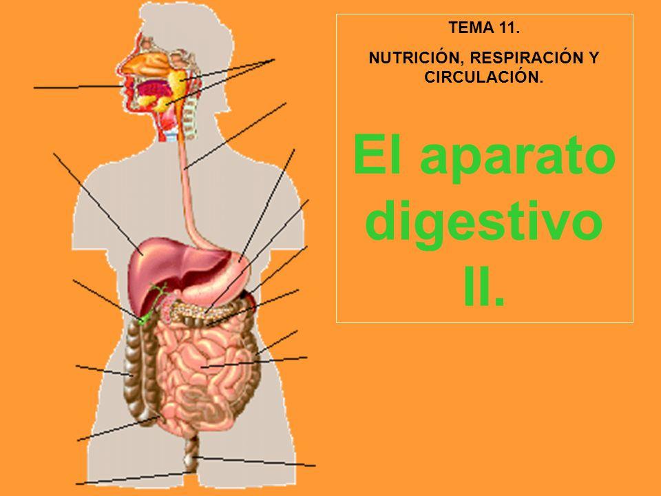 NUTRICIÓN, RESPIRACIÓN Y CIRCULACIÓN. El aparato digestivo II.