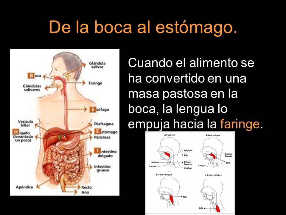 De la boca al estómago.Cuando el alimento se ha convertido en una masa pastosa en la boca, la lengua lo empuja hacia la faringe.