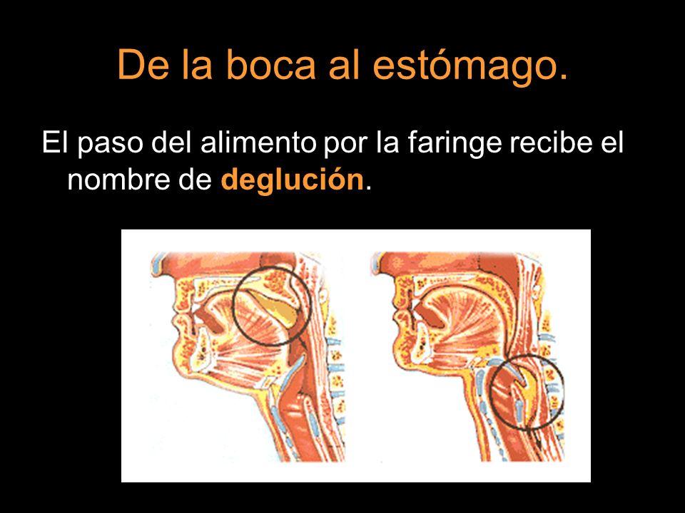 De la boca al estómago. El paso del alimento por la faringe recibe el nombre de deglución.