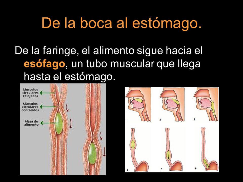 De la boca al estómago.De la faringe, el alimento sigue hacia el esófago, un tubo muscular que llega hasta el estómago.