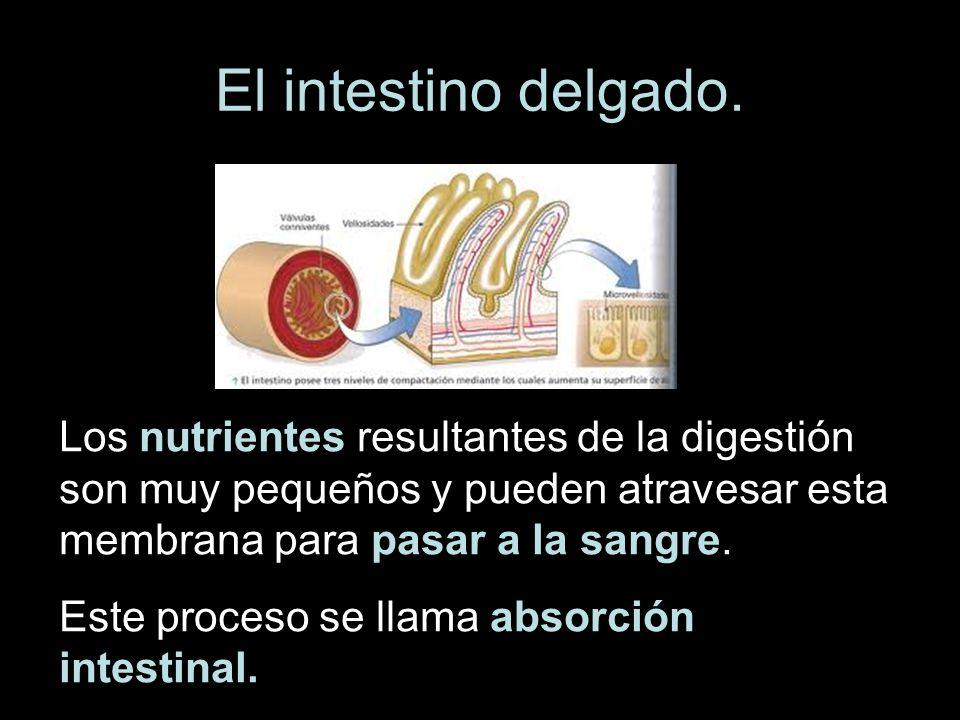 El intestino delgado. Los nutrientes resultantes de la digestión son muy pequeños y pueden atravesar esta membrana para pasar a la sangre.