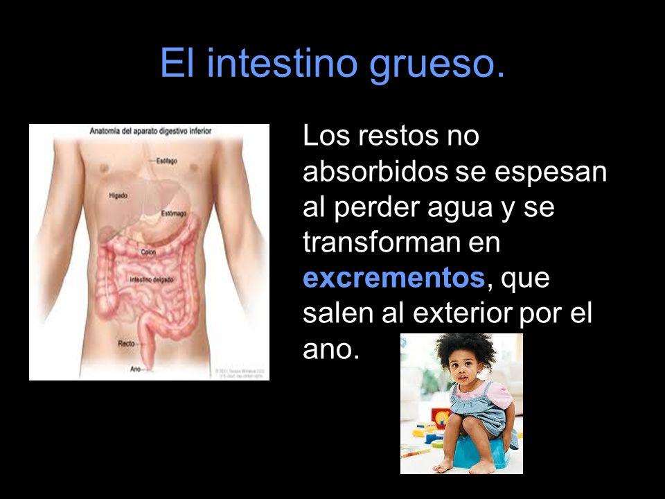 El intestino grueso.Los restos no absorbidos se espesan al perder agua y se transforman en excrementos, que salen al exterior por el ano.