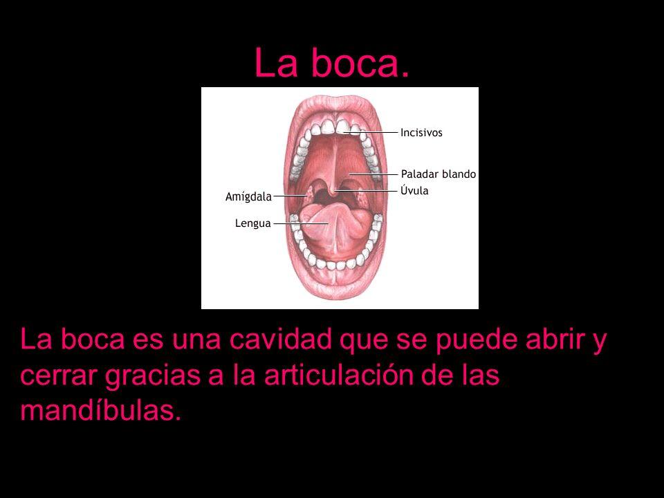 La boca.La boca es una cavidad que se puede abrir y cerrar gracias a la articulación de las mandíbulas.