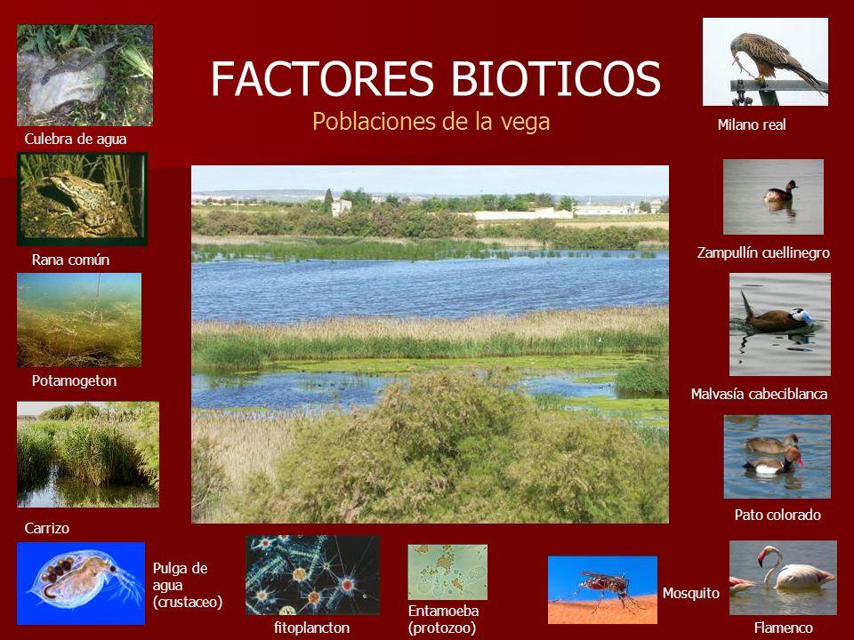 FACTORES BIOTICOS Poblaciones de la vega