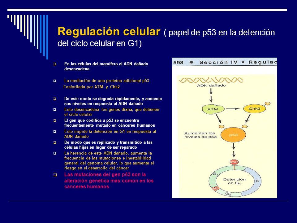 Regulación celular ( papel de p53 en la detención del ciclo celular en G1)
