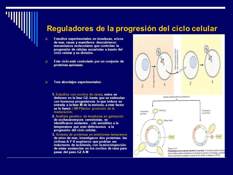 Reguladores de la progresión del ciclo celular