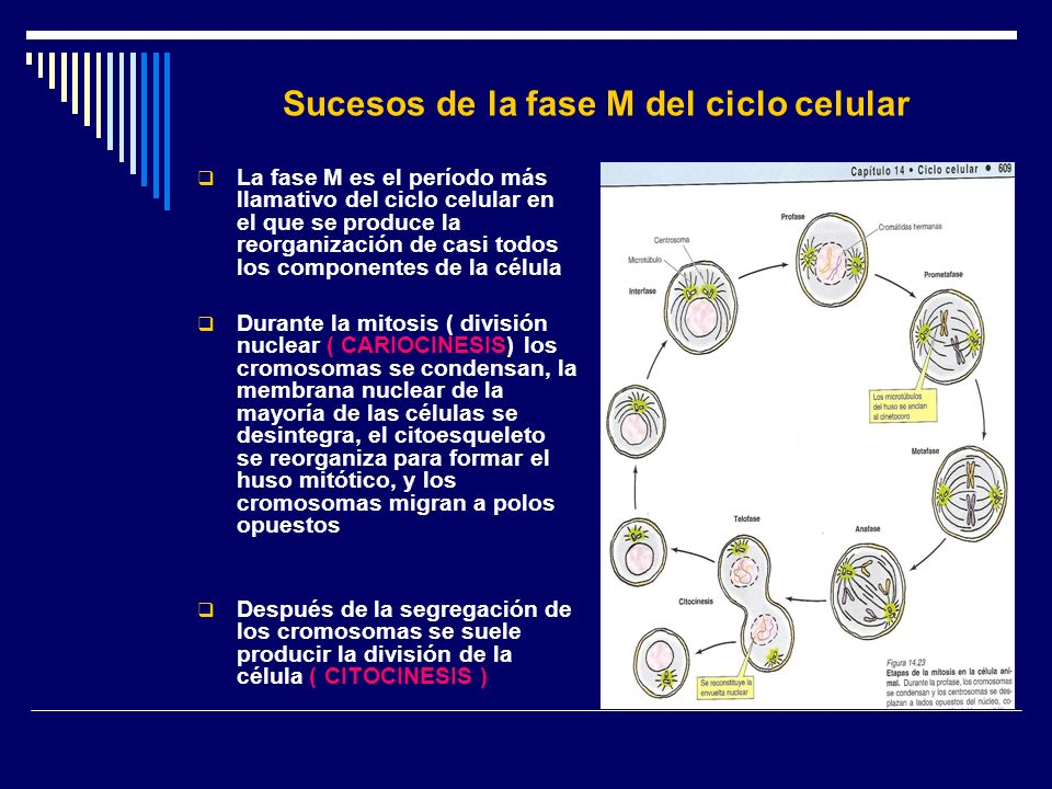 Sucesos de la fase M del ciclo celular