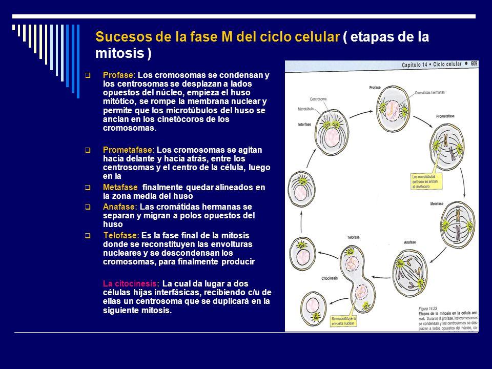 Sucesos de la fase M del ciclo celular ( etapas de la mitosis )