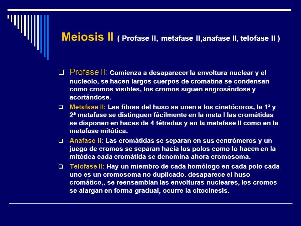 Meiosis II ( Profase II, metafase II,anafase II, telofase II )