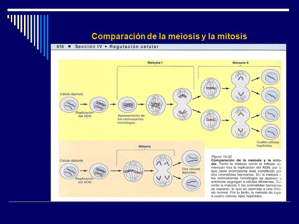 Comparación de la meiosis y la mitosis