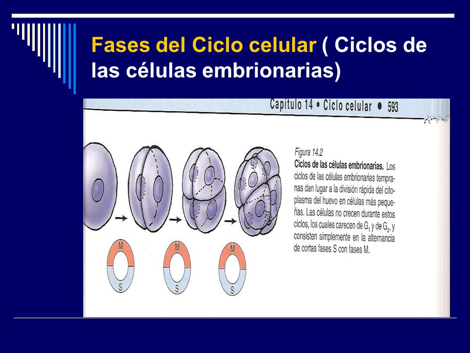 Fases del Ciclo celular ( Ciclos de las células embrionarias)