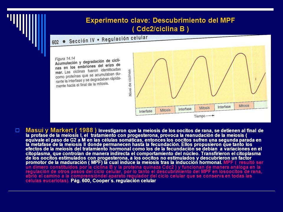 Experimento clave: Descubrimiento del MPF ( Cdc2/ciclina B )