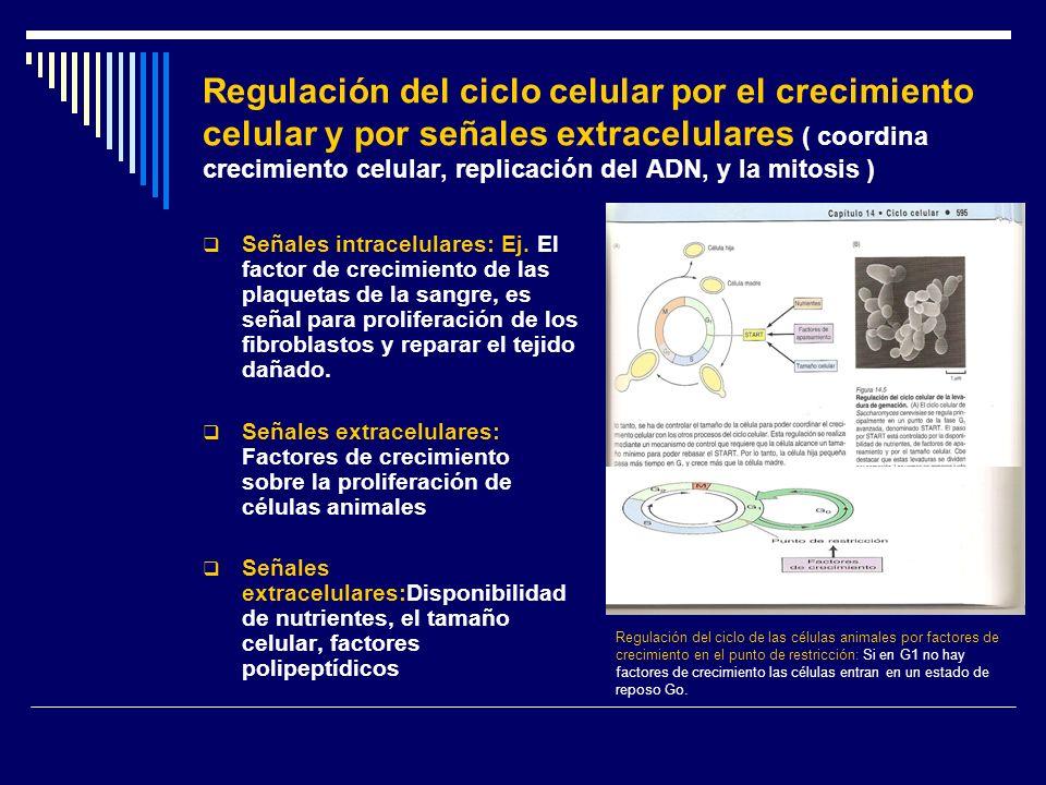 Regulación del ciclo celular por el crecimiento celular y por señales extracelulares ( coordina crecimiento celular, replicación del ADN, y la mitosis )
