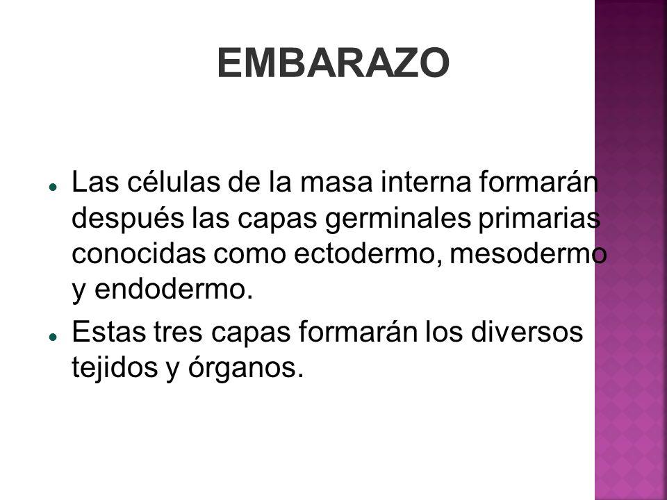EMBARAZO Las células de la masa interna formarán después las capas germinales primarias conocidas como ectodermo, mesodermo y endodermo.