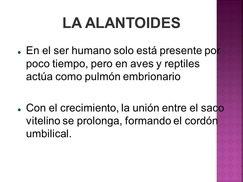 LA ALANTOIDES En el ser humano solo está presente por poco tiempo, pero en aves y reptiles actúa como pulmón embrionario.