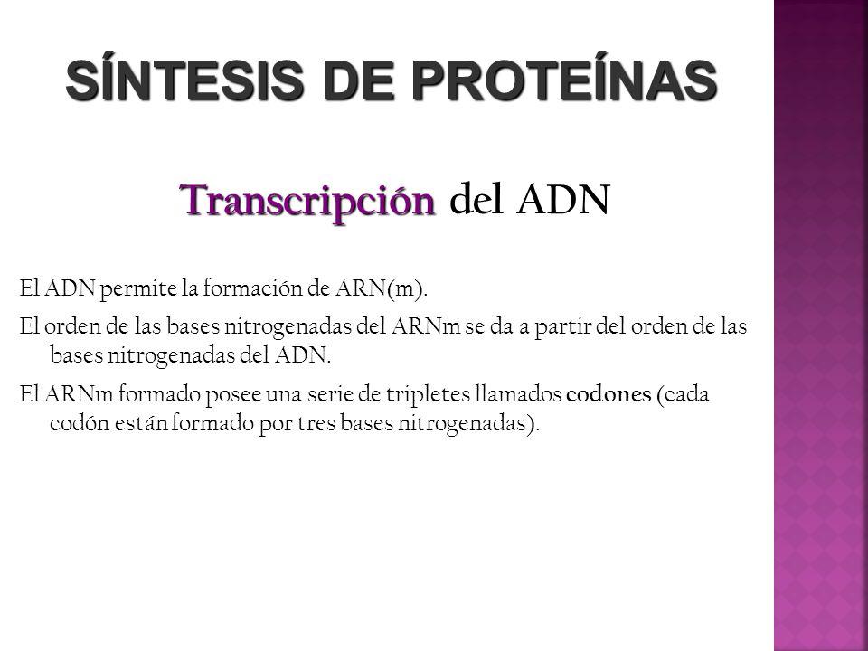 SÍNTESIS DE PROTEÍNAS Transcripción del ADN