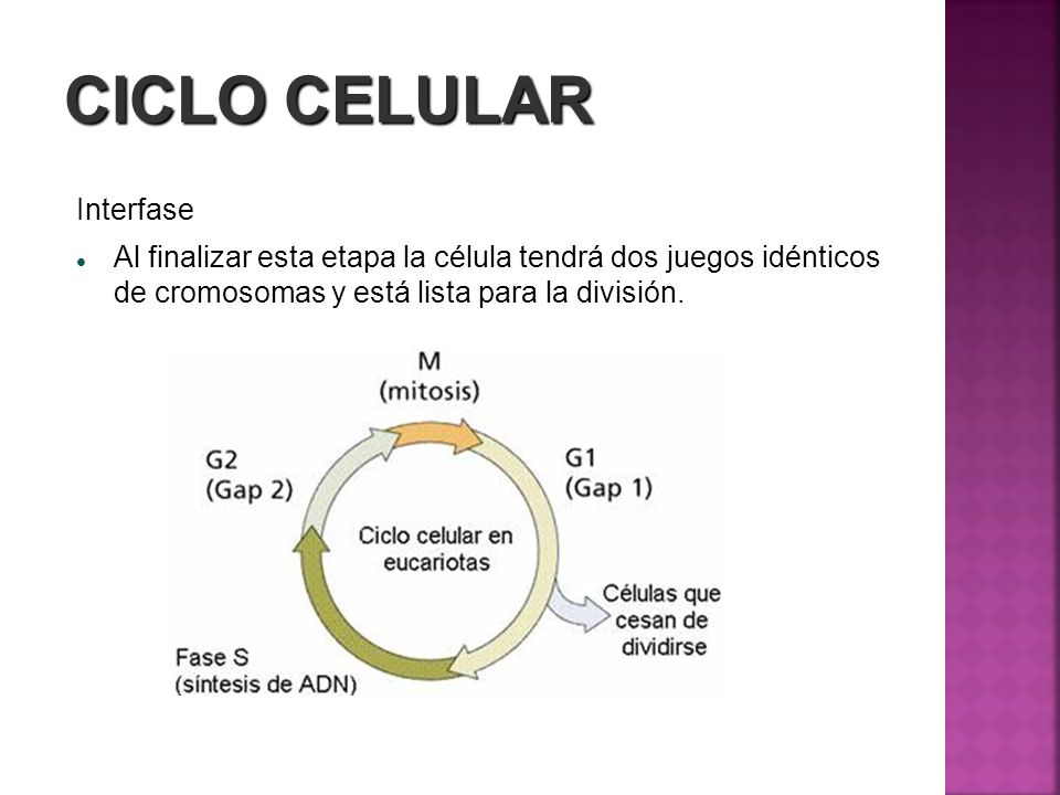 CICLO CELULAR Interfase