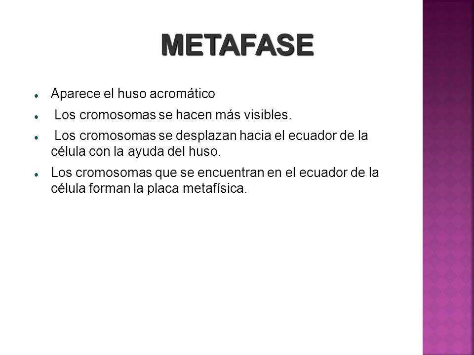 METAFASE Aparece el huso acromático