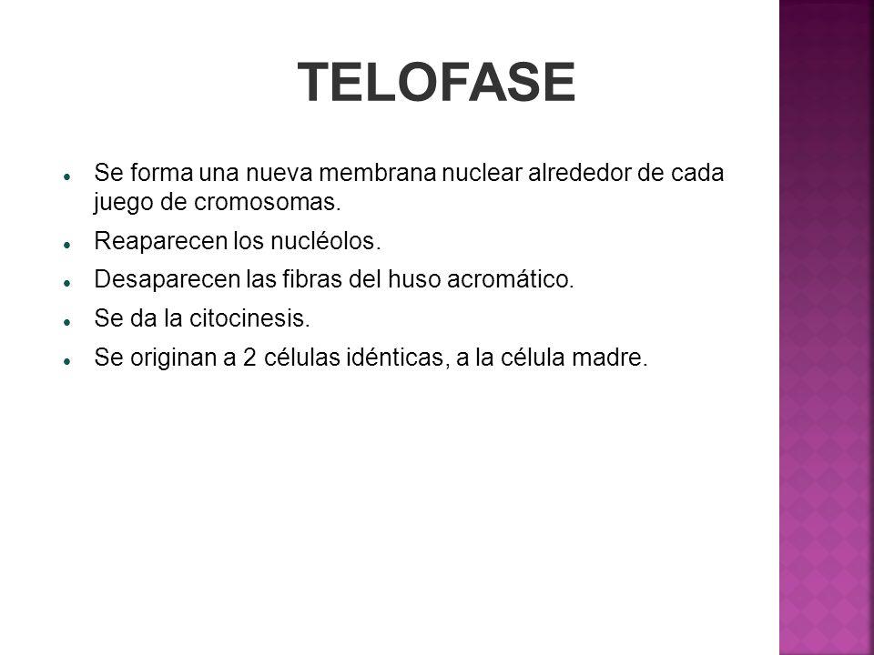 TELOFASESe forma una nueva membrana nuclear alrededor de cada juego de cromosomas. Reaparecen los nucléolos.