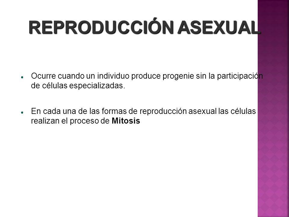REPRODUCCIÓN ASEXUAL Ocurre cuando un individuo produce progenie sin la participación de células especializadas.