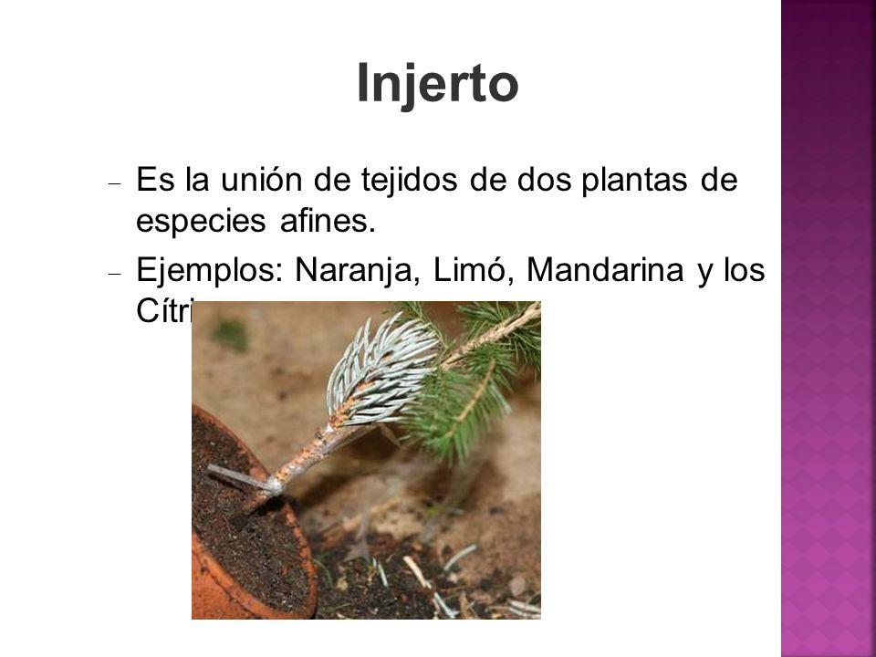 Injerto Es la unión de tejidos de dos plantas de especies afines.