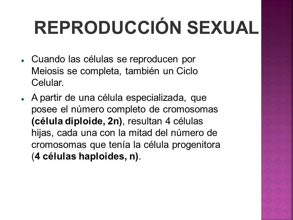 REPRODUCCIÓN SEXUAL Cuando las células se reproducen por Meiosis se completa, también un Ciclo Celular.