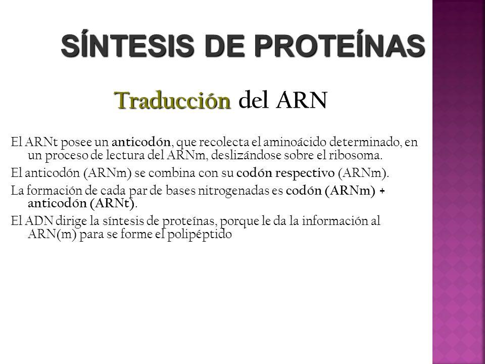 SÍNTESIS DE PROTEÍNAS Traducción del ARN